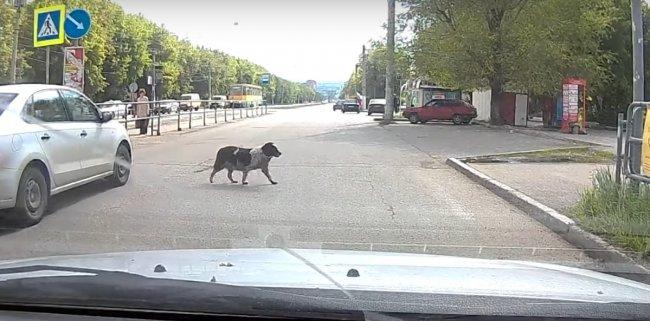 Собаки переходят дорогу на «зелёный»