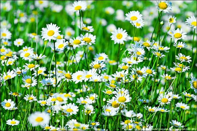 Календула, ромашка и крапива - наш сад нас лечит