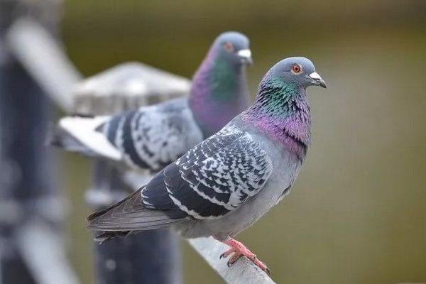 Кормить голубей запретят