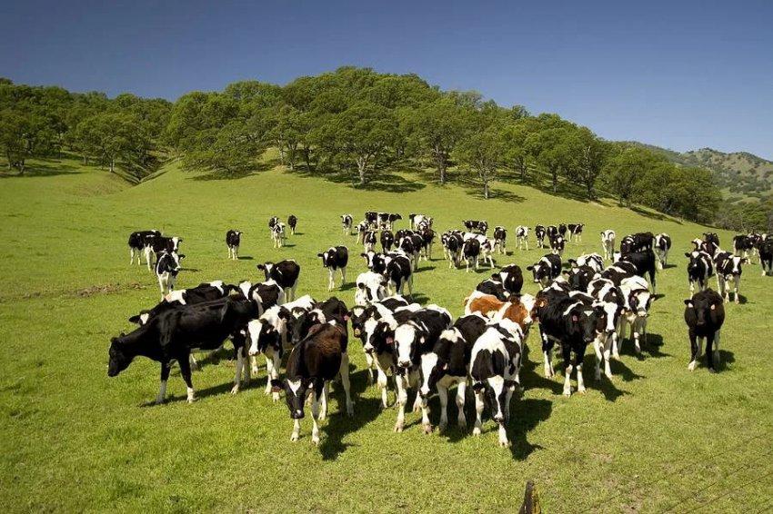 Детские сады получили стадо коров