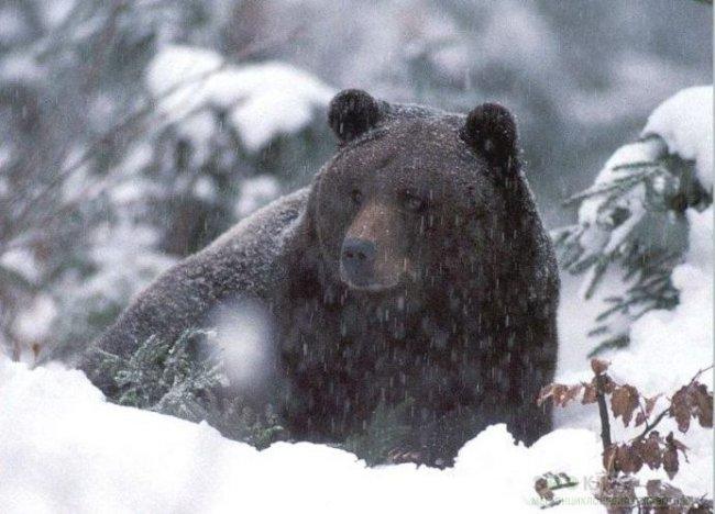 Медведь на обочине