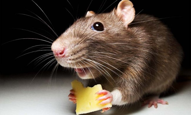 Крысы уйдут из детских лагерей