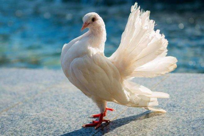 В пожаре погибли коллекционные голуби