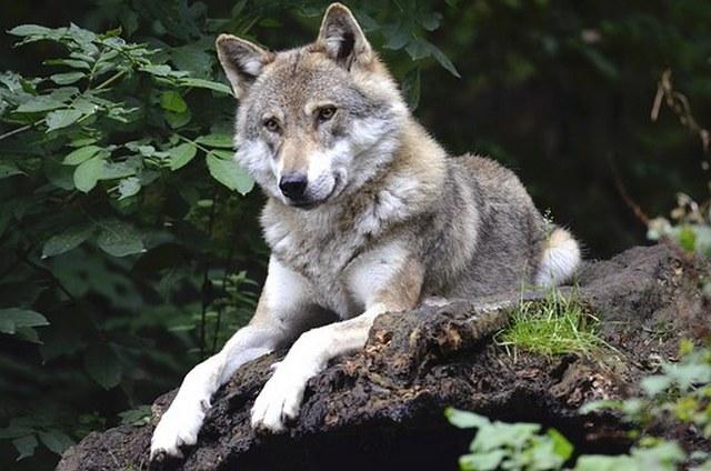 В Экопарке поселят волка