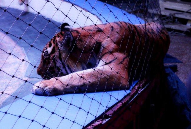 Что случилось с тигром?