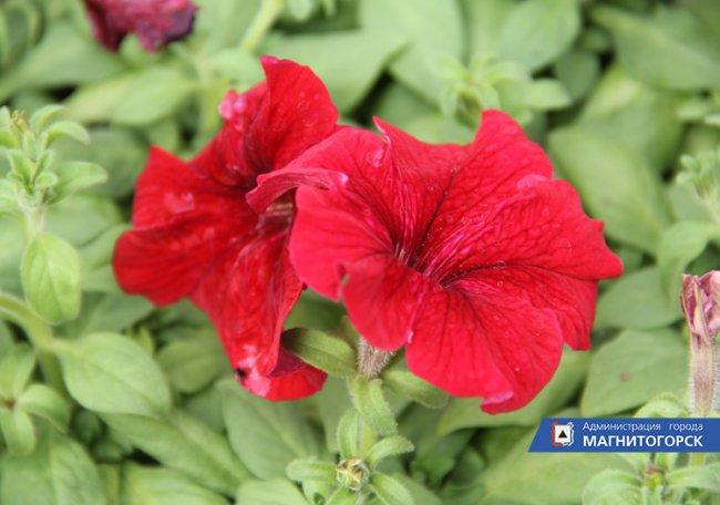 В Магнитогорске приступили к оформлению цветочных клумб