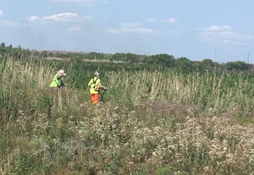 Полицейские обнаружили в городе конопляное поле