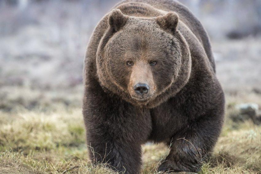 Медведь упал с обрыва на полицейскую машину