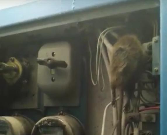 Крыса обесточила весь дом