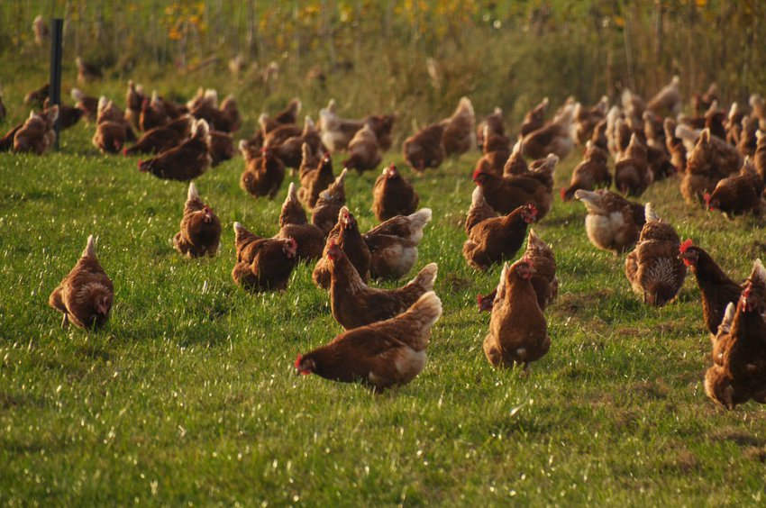 В области появился птичий грипп