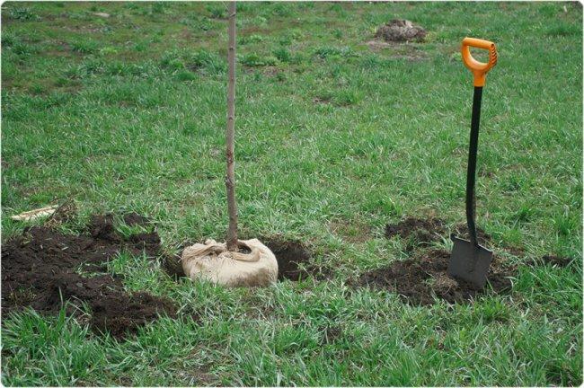 Высадили остролистные клёны